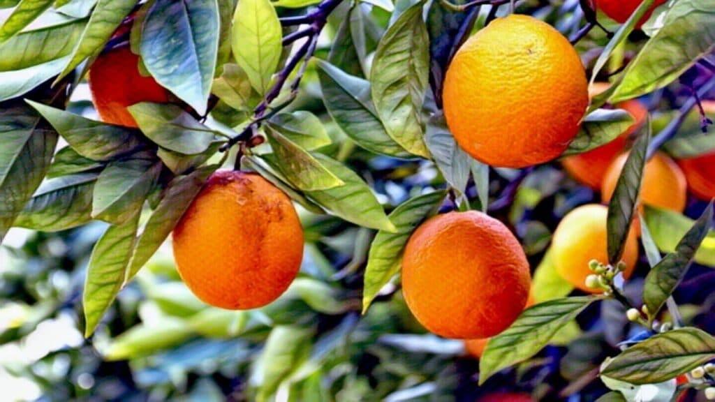 Mi abuela tenía un favorito: el naranjo de su casa en Valle de Bravo.