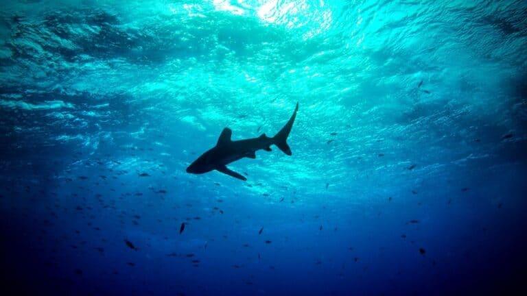Tiburones surfean en las olas para conservar energía