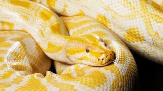 Serpiente pitón muerde genitales de un hombre sentado en el inodoro